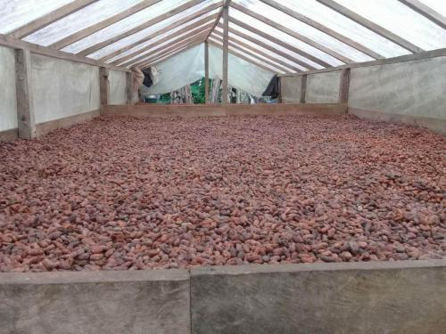 Drying Cacao 1