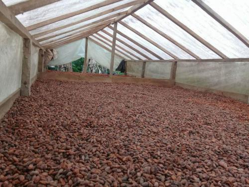 Drying Cacao 3